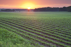Field of young soybean plants at sunrise. A green field of young soybean plants photographed at sunrise royalty free stock images