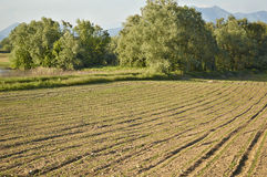 Field with young sprouts. Of corn, Lombardy Italy May 2014 Royalty Free Stock Photo