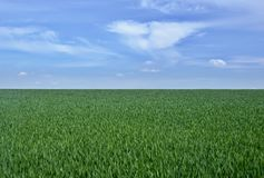 Field of young sprouts of wheat stock image