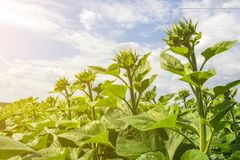 Field of a young sunflower during the formation of a hat. Rovnye series. Healthy plants stock image