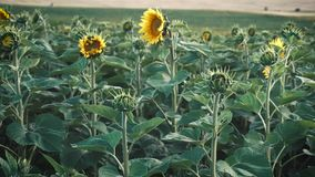 Field of Young Sunflowers stock video