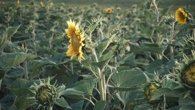 Field of Young Sunflowers stock footage