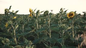 Field of Young Sunflowers stock video footage
