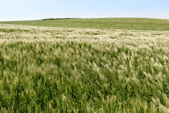Field with young wheat on the cliffs of Cap Gris Nez, France Stock Images