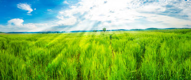 Field of young wheat Stock Image