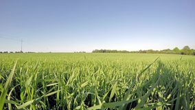 Field of young wheat on sunny day stock footage