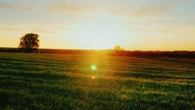 Field of young wheat at sunset. In the background there is a solitary tree and sunrise. An ideal place for agribusiness. Beautiful scenery - green field at stock video footage