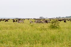 Field with zebras and blue wildebeest Stock Image
