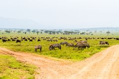 Field with zebras and blue wildebeest at crossroad. Field with zebras Equus and blue wildebeest Connochaetes taurinus, common wildebeest, white-bearded Royalty Free Stock Photo