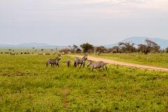 Field with zebras and blue wildebeest and dirt road. Field with zebras Equus and blue wildebeest Connochaetes taurinus, common wildebeest, white-bearded Stock Images