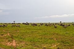 Field with zebras and blue wildebeest and dirt road. Field with zebras Equus and blue wildebeest Connochaetes taurinus, common wildebeest, white-bearded Royalty Free Stock Photo