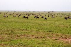 Field with zebras and blue wildebeest and dirt road. Field with zebras Equus and blue wildebeest Connochaetes taurinus, common wildebeest, white-bearded Royalty Free Stock Image