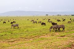 Field with zebras and blue wildebeest and dirt road. Field with zebras Equus and blue wildebeest Connochaetes taurinus, common wildebeest, white-bearded Stock Photography