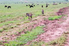 Field with zebras and blue wildebeest and dirt road. Field with zebras Equus and blue wildebeest Connochaetes taurinus, common wildebeest, white-bearded Stock Photos