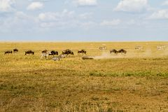 Field with zebras and blue wildebeest. Field with zebras (Equus) and blue wildebeest (Connochaetes taurinus), common wildebeest, white-bearded wildebeest or Royalty Free Stock Image