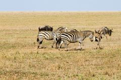 Field with zebras and blue wildebeest. Field with zebras (Equus) and blue wildebeest (Connochaetes taurinus), common wildebeest, white-bearded wildebeest or Royalty Free Stock Photos