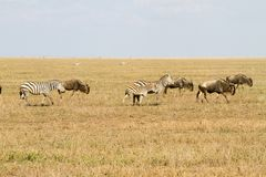 Field with zebras and blue wildebeest. Field with zebras (Equus) and blue wildebeest (Connochaetes taurinus), common wildebeest, white-bearded wildebeest or Royalty Free Stock Photography