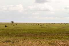 Field with zebras and blue wildebeest. Field with zebras (Equus) and blue wildebeest (Connochaetes taurinus), common wildebeest, white-bearded wildebeest or Royalty Free Stock Photo