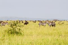 Field with zebras and blue wildebeest. Field with zebras Equus and blue wildebeest Connochaetes taurinus, common wildebeest, white-bearded wildebeest or brindled Royalty Free Stock Image