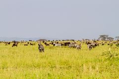 Field with zebras and blue wildebeest. Field with zebras Equus and blue wildebeest Connochaetes taurinus, common wildebeest, white-bearded wildebeest or brindled Stock Photo