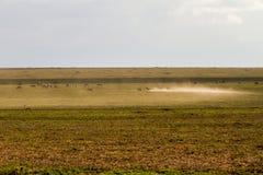 Field with zebras and blue wildebeest. Field with zebras (Equus) and blue wildebeest (Connochaetes taurinus), common wildebeest, white-bearded wildebeest or Stock Photos