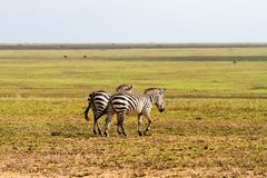 Field with zebras and blue wildebeest. Field with zebras (Equus) and blue wildebeest (Connochaetes taurinus), common wildebeest, white-bearded wildebeest or Stock Image