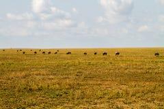 Field with zebras and blue wildebeest. Field with zebras (Equus) and blue wildebeest (Connochaetes taurinus), common wildebeest, white-bearded wildebeest or Stock Photo