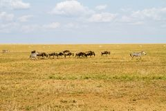 Field with zebras and blue wildebeest. Field with zebras (Equus) and blue wildebeest (Connochaetes taurinus), common wildebeest, white-bearded wildebeest or Stock Images