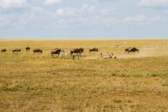 Field with zebras and blue wildebeest. Field with zebras (Equus) and blue wildebeest (Connochaetes taurinus), common wildebeest, white-bearded wildebeest or Stock Photography
