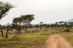Field with zebras and blue wildebeest. Field with zebras Equus and blue wildebeest Connochaetes taurinus, common wildebeest, white-bearded wildebeest or brindled Stock Photography