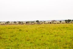 Field with zebras and blue wildebeest. Field with zebras Equus and blue wildebeest Connochaetes taurinus, common wildebeest, white-bearded wildebeest or brindled Royalty Free Stock Photos