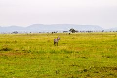 Field with zebras and blue wildebeest. Field with zebras Equus and blue wildebeest Connochaetes taurinus, common wildebeest, white-bearded wildebeest or brindled Stock Photos