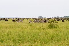 Field with zebras and blue wildebeest. Field with zebras Equus and blue wildebeest Connochaetes taurinus, common wildebeest, white-bearded wildebeest or brindled Stock Images
