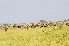 Field with zebras and blue wildebeest. Field with zebras Equus and blue wildebeest Connochaetes taurinus, common wildebeest, white-bearded wildebeest or brindled Royalty Free Stock Photo