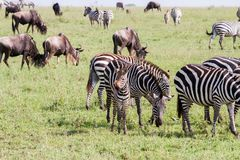 Field with zebras and blue wildebeest. Field with zebras Equus and blue wildebeest Connochaetes taurinus, common wildebeest, white-bearded wildebeest or brindled Stock Image