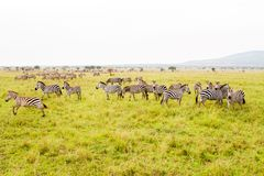 A Dazzle of Zebras and implausibility of blue wildebeest. Field with zebras Equus and blue wildebeest Connochaetes taurinus, common wildebeest, white-bearded Stock Image