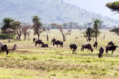 Zebras Equus and blue wildebeest Connochaetes taurinus. Field with zebras Equus and blue wildebeest Connochaetes taurinus, common wildebeest, white-bearded Royalty Free Stock Photography