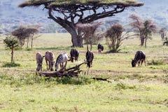 Zebras Equus and blue wildebeest Connochaetes taurinus. Field with zebras Equus and blue wildebeest Connochaetes taurinus, common wildebeest, white-bearded Stock Images