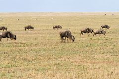 Field with zebras and blue wildebeest. Field with zebras (Equus) and blue wildebeest (Connochaetes taurinus), common wildebeest, white-bearded wildebeest or Royalty Free Stock Images