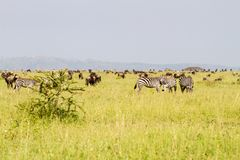 Field with zebras and blue wildebeest. Field with zebras Equus and blue wildebeest Connochaetes taurinus, common wildebeest, white-bearded wildebeest or brindled Royalty Free Stock Images