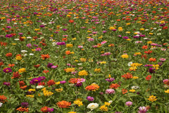 Field of Zinnias. In bloom in Wilmington, North Carolina Royalty Free Stock Images