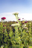 Field of Zinnias. A field of brightly colored zinnias stock image