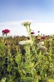 Field of Zinnias Stock Image