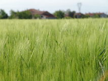 зерно field02 Стоковое фото RF