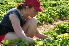 field1 νεολαίες γυναικών φραουλών Στοκ φωτογραφία με δικαίωμα ελεύθερης χρήσης