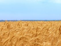 field1 pszenicy Obrazy Stock