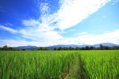 field2 ryż obrazy stock
