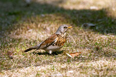 Fieldfare Royalty Free Stock Image