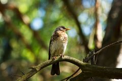 Fieldfare Royalty Free Stock Photography