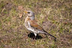 Fieldfare. In a sunny day on a lawn Royalty Free Stock Images